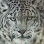 Regard de léopard des neiges. Marie-Françoise Janssen