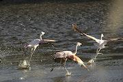 Austral flamingos flying on the lake. Tomás Zarraga