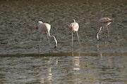 Austral Flamingos fishing in the lake. Tomás Zarraga
