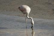 Austral flamingo fishing in the lake.