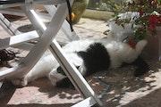 Mon chat Inti (Dieu Soleil des Incas), un réconfort en ces temps douloureux.