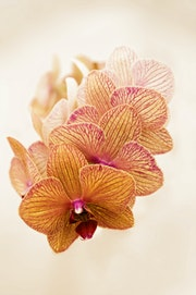Orchid Marco. Gary Lebouton