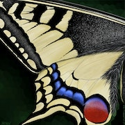 Machaon. Jerricho