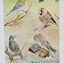 Oiseaux de chez nous. Gérard Bel