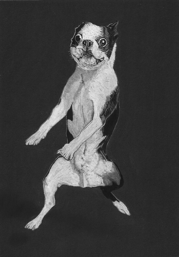Boston terrier. Wpascal Wpascal