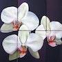 Orkide. Kati