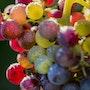 Arc-en-ciel de baies de raisins.