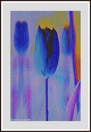 EB67-Tulipanes de Mayo del año 2020.