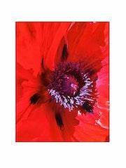 Fleur de pavot. Sylvain Collard