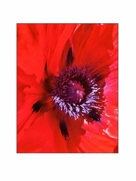 Fleur de pavot. Sylvain Collard Sylvain Collard
