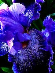 Iris. Divine Feminine