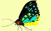 Painted Birdwing Butterfly. Keith Goldie