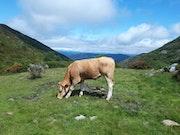 Una vaca en Sierra de los Ancares. M. Pilar