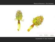 Pigne di Magnolia - San Giustino. Lilia Patterson