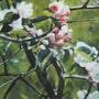 Fleurs de pommier. Isabelle Douzamy
