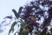 Magnifique papillon Machaon dans le jardin après l'horrible canicule.