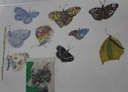 Planche de Papillons.
