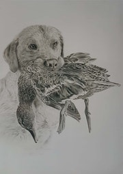 Labrador rapportant une femelle colvert.
