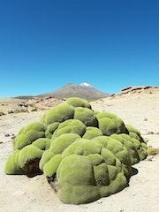 Llareta (Bolivie).