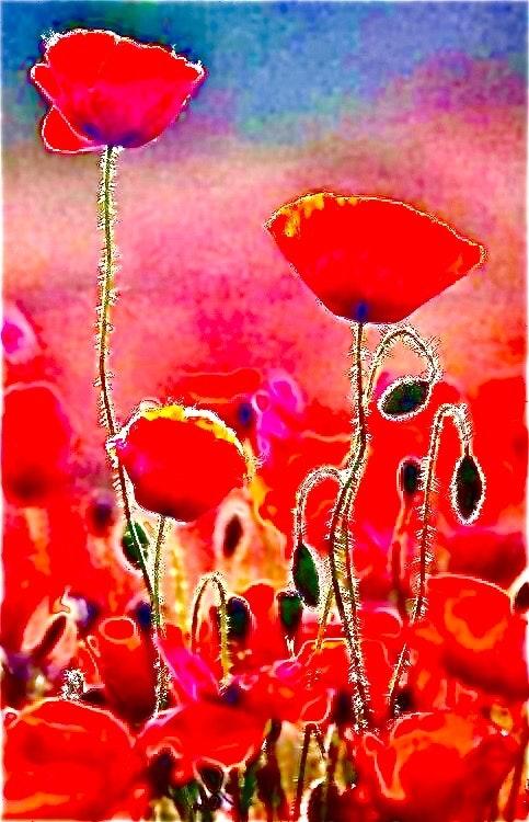 Poppy fields. Donna Marie Divine Feminine