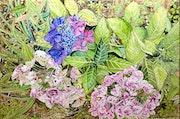 Hydrangéas ou hortensias de Bretagne.