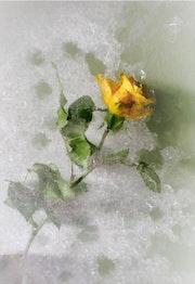 La rose dans la glace.