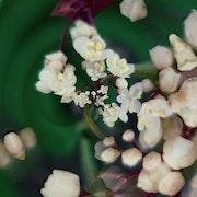 Valse de petites fleurs blanches.