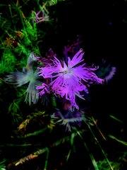 Ô combien violette…. Aline Demarais - Photographie