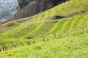 Vignoble du Jura. Thierry Gouvernet