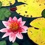 Lotus rouge. Phijk