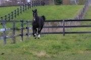 Fiona coming. Grand Elizabethan Equine