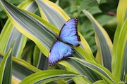 Butterfly nature photography -Photo 362 Morpho Helenor.