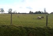 Mouton dans la prairi.