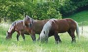 Horses Pyrénéens.