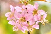 Cerisier sauvage. Solena432
