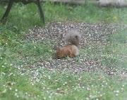 Le jardin accueille un bébé écureuil 2021, depuis quelques jours.