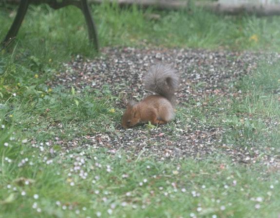 Le jardin accueille un bébé écureuil 2021, depuis quelques jours. Nathalie Hochard-Gaudry Nathalie Hochard-Gaudry