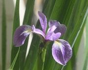 Deuxième iris de la saison, violette cette fois-ci, ma couleur préférée.
