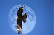 Le faucon et la lune.