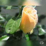 Juin 2021 La Naissance de la rose.