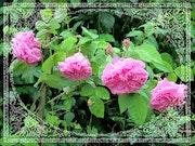 De 4 roses. Véronique Romance