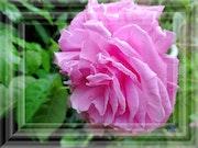 Reine des fleurs. Véronique Romance