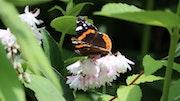 L'indicateur de beau temps: le papillon, ici un Vulcain.