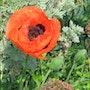 Fleur de mon jardin. Denise Doderisse