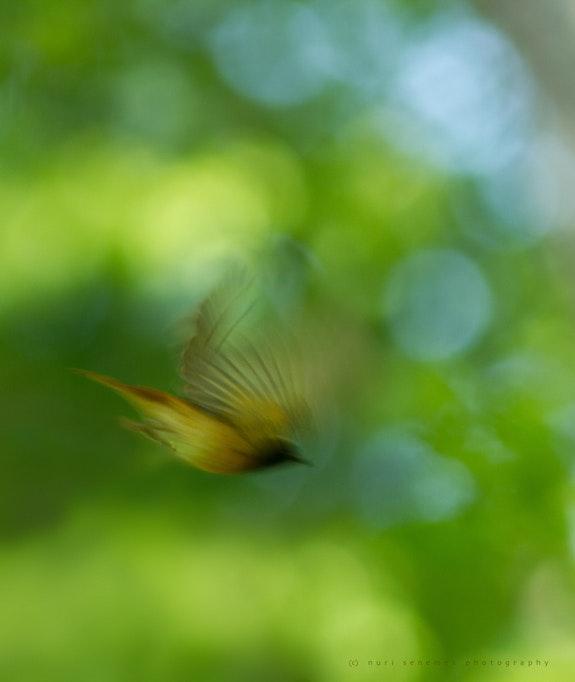 Redstart (bird photography). Senn