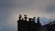 Conversations ornithologiques sur les toits. Nathalie Hochard-Gaudry