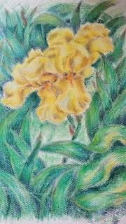 Yellow Iris, floral illustration, botanical artwork, flowers, oil pastels.