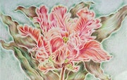 Parrot Tulip, floral drawing, colored pencils, flowers, botanical illustration. Melanconia