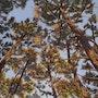 Pins dans le ciel de Biscarrosse. Nadyarl