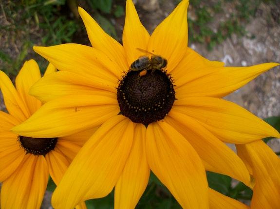 Le tournesol et l'abeille. Gabrielle Gab